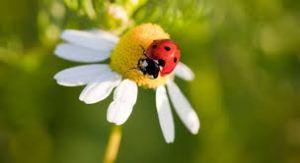 daisy and ladybug